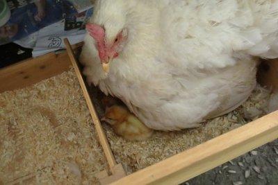 Meet My New Chicks